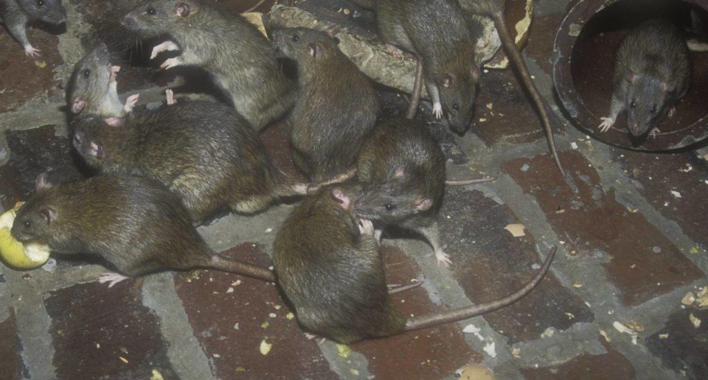 уничтожение крыс в Новороссийске